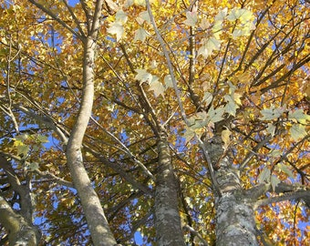 Autumn Leaves of Yellow, Gold, Carolina Blue Sky, Fall Tree Looking Up, Reaching 8x10 Photo
