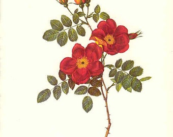 Redoute Botanical Rose Print  3