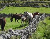 Horses Photo Ireland Horse Photo Nature and Wildlife Photo Print Matted 8x10 11x14 5x7