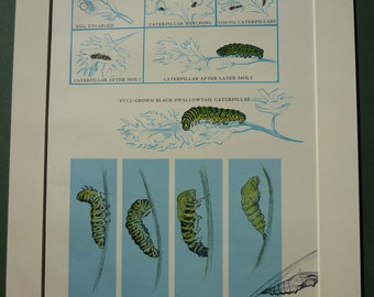 """1960's scientific caterpillar chart, life cycle, egg to chrysalis, swallowtail, cocoon, egg, Lithograph print - Winifred Lubell - 12"""" x 10"""""""