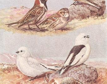 Vintage Bird Print, Book Plate, Longspurs, Snow Buntings, Lapland Longspur, Allan Brooks, Antique Bird Illustration, 1930s