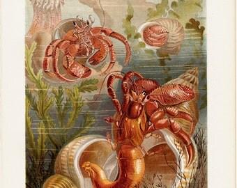 1890 Antique print, Gorgeous HERMIT CRAB fine chromolithograph, crustaceans aquarium,  125 years old gorgeous print