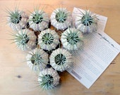 party favor pack  // air plant urchin terrariums // qty. 10