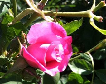 Sacramento Rose II