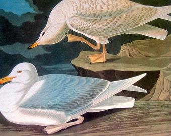 Audubon Bird Print - Iceland Gull - White Winged Silvery Gull - Large 1981 Vintage Audubon Bird Book Page
