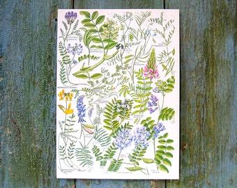 Purple Milk Vetch, Wild Licorice, Least Bird's Foot, Sainfoin -  Vintage Botanical Book Plate 1965 P24