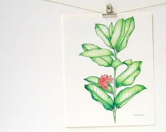 Common Milkweed - Flower Print - 1989 Vintage Page 10 x 8