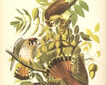 5 Old 1937 John James Audubon The Birds Of America Book Plates