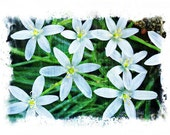 Star Of Bethlehem, Blue Star, Flower Photography, Fine Art Photo, Home Decor, Nature Photography, Bedroom Decor, Wall Decor, Blue and Green
