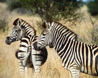 Zebra photo, nature photography, black and white stripes, Africa, wild animal, nursery decor, bamboo, honey gold, abstract, lines,