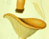 1912 Antique Coloured Plate of Elegant Mushrooms. Lactaria helva