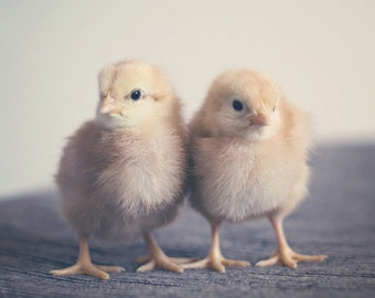 Animal Photography Chicks Easter Spring nature two 2 baby chickens farm nursery art home decor children mustard citrine light yellow pale