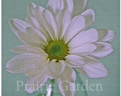 Daisy on Celadon 8x8 fine art photo