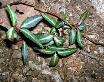 Chimaphila maculata (Spotted Wintergreen, also called striped wintergreen and striped prince's pine)