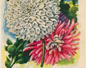 DAHLIA! (Cactus Double Mixed) Vintage Flower Seed Packet Tuckers Seed House Lithograph (Carthage, Missouri)