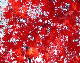 4 Rooted RED JAPANESE MAPLE Saplings, 6 inches tall- Deer resistant, Beautiful Fall & Year Round Red Foliage
