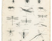 Insects: Grasshopper, Wasp, Beetle Lacewing Ants Bees, Reproduction Antique Print 1829/4, Library Decor, Scientific Illustration, Naturalist