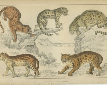 Leopard, Neuwied Cat, Clouded Tiger, Ocelot Sumatra Cat, 1868 Goldsmith Antique Print 8, Hand Colored Engraving, Wild Animals, Library Decor