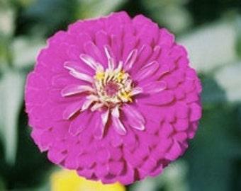 SALE-- Zinnia, Giant, Violet Queen ---20 seeds