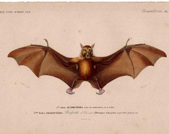 1849 ANTIQUE BAT ENGRAVING original antique print from 1849 - hand colored engraving - cheiroptera vampire bat flying fox fruit bat