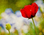 Nature Photograph 16x20 Red Poppy fine art floral print