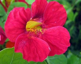 Nasturtium, Cherry Rose Nasturtium Seeds - Rare Heirloom with Unique Flower Color