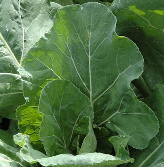 how to grow collards from seed