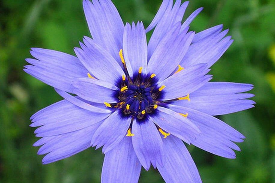 Cupid S Dart Blue Cupid S Dart Seeds Catanache
