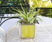 YELLOW Stained Glass Tillandsia Air Plant Holder (airplant included)