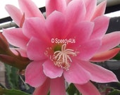 Flirtation Epiphyllum Orchid Cactus Cuttings