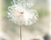dandelion photograph, flower photography, fluffy art print, pastel mint green, macrophotography, dandelion dreams