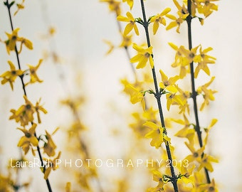"""Forsythia Photography, Yellow Nature Photograph, Mother's Day, Baby Nursery, Home Decor, Fine Art Photography 8x8 - """"MELLOW YELLOW"""""""