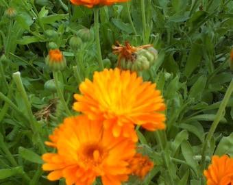 Calendula-Organic Heirloom Herb Seed