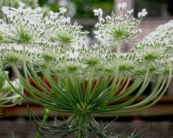 Queen Anne's Lace-Non-GMO Organic Heirloom Herb Seed
