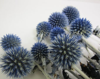 "Dried Globe Thistle -- set of 8  -- Preserved  -- 5"" long"