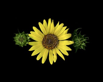still life photography sunflower yellow black green photoscan
