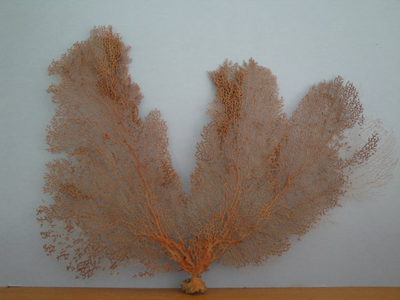 "17.5"" x 15"" Large Natural Red Color Sea Fan Seashells Reef Coral"