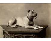 Vintage Photo | Pitbull Posed on Table | Antique Dog 4 x 6 Photo Reprint | Pet Photography