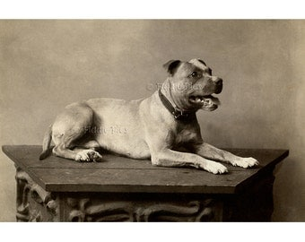 Pitbull Posed on Table | Antique Dog 4 x 6 Photo Reprint | Pet Photography
