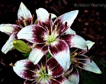 Flower Photography, Lily Photo, Lily, Lilies, Nature Photography, Pictures of Flowers, Flower Gardens