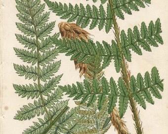 150 Year Old BOTANICAL CHROMOLITHOGRAPH Plate 9 Thomas Moore British Ferns 1859