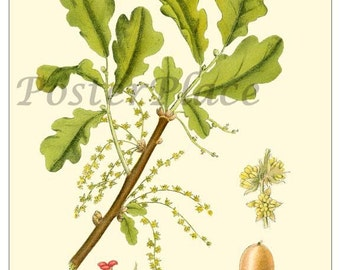 English Oak ART CARD - Vintage Botanical print reproduction 368