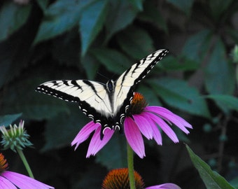 8x10 tiger swallowtail on coneflower