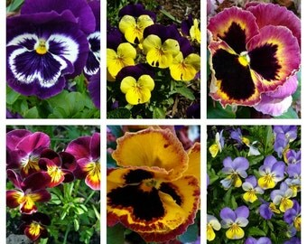 Bold Pansy Note Cards - Spring Garden, Birthday, Blank, Handmade Glossy Photo Art Cards, Set of 6