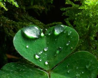 Macro leaf clover heart green with dew drops close up fine art photo print - Il cuore nascosto