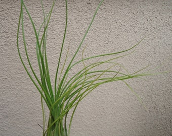 Large Tillandsia Disticha Green