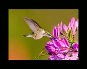 Ruby Throated Hummingbird photograph- 8x10 matted