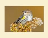 Yellow rumped warbler horizontal on goldenrod bird photograph- 8x10 matted