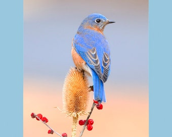 Eastern bluebird on teasel bird photograph- 8x10 matted