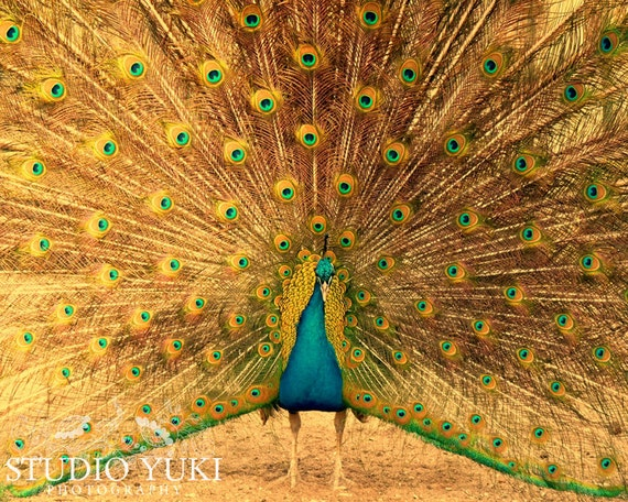 Peacock Photograph - Fine Art Nature Photography - Gorgeous peacock showing feathers - I am Free, Captain Peacock